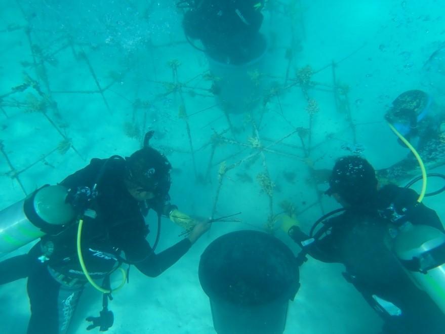 Pemeliharaan Hasil Transplantasi Terumbu Karang Di Zona Rehabilitasi SPTN Wilayah III Popolii Balai TN Kepulauan Togean